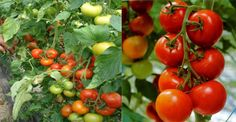 Pentru Rosii Mari Si Delicioase, Invata Sa Le Plantezi Corect - dr. Andrei Laslău Vegetables, Gardening, Agriculture, Plant, Lawn And Garden, Vegetable Recipes, Veggies, Horticulture