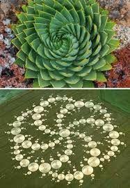 """Résultat de recherche d'images pour """"sacred geometry in plants"""""""