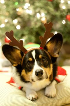 Santa's little helpers: rein-corgis!