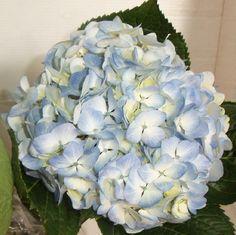 Pink And Blue Flowers, All Flowers, Fresh Flowers, Wedding Flowers, Dusty Miller Bouquet, Wedding Reception, Our Wedding, Wedding Stuff, Wedding Ideas