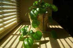 Creeping Charlie Plant Care | Hunker Cactus House Plants, House Plants Decor, Plant Decor, Toxic Plants For Cats, Cat Plants, Ivy Houseplant, Houseplants, Potato Vine Plant, Trees To Plant
