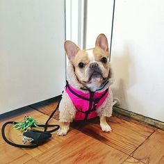 hurry up. I'm late for my pawdicure  @PetGoals_ #PetGoals by chloetheminifrenchie
