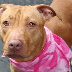 NYC - DEATH ROW (SHARE) 01/25/13 PIPPA (a/k/a PRETTYINPINK)  TO BE DESTROYED - 01/25/13  Manhattan Center - P    My name is PIPPA (a/k/a PRETTYINPINK). My Animal ID # is A0955488.  I am a female tan pit bull mix. The shelter thinks I am about 1 YEAR 6 MONTHS old.