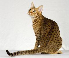 "Ocicat - ""Like a devoted dog in a feline skin. Not demanding, but confident and dedicated; extroverted around strangers, this is not a breed that will shy away from curling up in a visiting lap. They are vocal but not annoyingly so, and need space, toys and diversions to keep themselves occupied. The breed is bright and easily trained, walks on leashes, responds to voice commands, fetches and obeys rules. Adaptable, good travelers, amiable with other pets."""