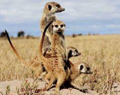 erdmännchen bilder | im bann der erdmännchen erdmännchen stockstert meerkat suricate ...