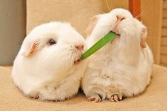 Two white guinea pigs fighting over a blade of grass.