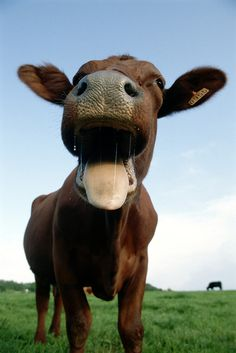 And this cow who simply thinks life is hilarious: | 14 Cows That Are Too Cute To Handle