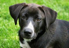 Millie the Mixed Breed -- Dog Breed: Border Collie / Labrador Retriever