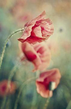 """Dancing Poppies"" -- by Katarzyna Soluch via 500px"