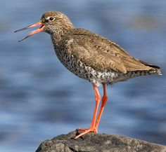 nunavut national bird
