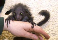 Weird Animals: Aye-aye