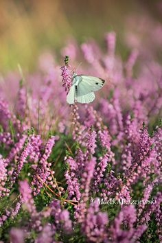 Small White Butterfly & Flowering Heather