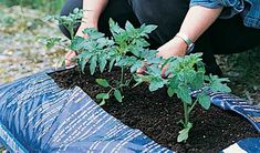 Growing tomatoes in compost grow bags Growing Tomatoes Indoors, Growing Tomatoes In Containers, Growing Vegetables, Grow Tomatoes, Container Vegetables, Container Gardening, Faire Son Compost, Best Tasting Tomatoes, Compost Bags