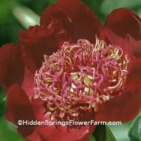 Peony Tisch is a rarely offered very dark red Japanese with a gold and red center. Strong stems. This peony was named for the good and faithful hunting dog and peony patch weeding companion of Bob Tischler as he spent many hours caring for his peony fields. Plant in full sun. Week 6 bloom date rating.