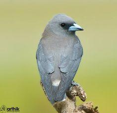 Ashy Woodswallow