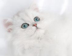 cute persian cats images