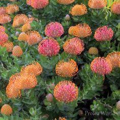 Pincushion Protea: Leucospermum patersonii [Family: Proteaceae]