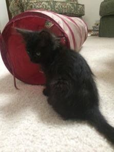 Who remembers that tiny little premie bottle fed kitten?? Well Smidgen is all grown up and going for a neuter next week!