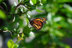 Monarch Butterfly in Wilton Manor , Fl.