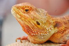 Bearded Dragon by WilliamGriswoldPhoto on Etsy, $12.00 http://www.facebook.com/williamgriswoldphotography/