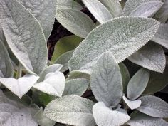 Lamb's ear....love the soft leaves ( thus the name) send out a stalk with small purple flowers on it . Great as a border since it stays about 6 in tall, but will spread, so divide it after a year or two