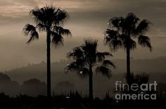 Palm Tree Silhouettes - photograph by Clare Bevan  @cnb74 #clarebevan #spain #palmtrees