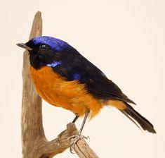 Opgezette roodbuik niltava Bird Taxidermy, Animal Sculptures, Animals, Birds, Taxidermy, Animales, Animaux, Animal, Animais