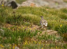 "White-tailed Ptarmigan (Lagopus leucura) - A New ""Life Bird, the White-tailed Ptarmigan 