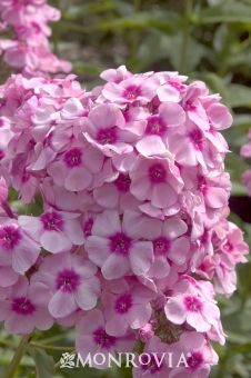 Miss Candy Garden Phlox.  I have two of these planted outside my kitchen window.  They're beautiful, and supposedly resistant to powdery mildew.  I've been lucky and haven't had any problems with my plain old Garden Phlox, though.