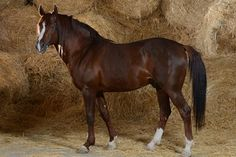 Researchers say this seems to confirm lore that some horse breeds are more susceptible to EMS than others.