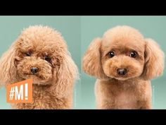 The Active Poodle Dog Grooming Japanese Dog Grooming, Japanese Dogs, Japanese Style, Cute Dog Photos, Dog Pictures, Animal Pictures, Hilarious Pictures, Dog Grooming Tips, Poodle Grooming