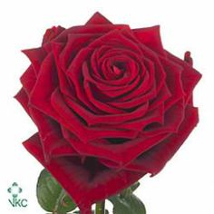 Red Naomi Roses are deep velvety red & usually available all year round. 70cm stem lengths this wholesale cut flower is wholesaled in 20 stem wraps.