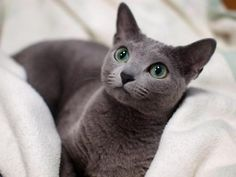 Beautiful jade eyes of a Korat Pretty Cats, Beautiful Cats, Cute Kittens, Cats And Kittens, Cool Cats, Russian Blue Kitten, Animals And Pets, Cute Animals, Homeless Dogs