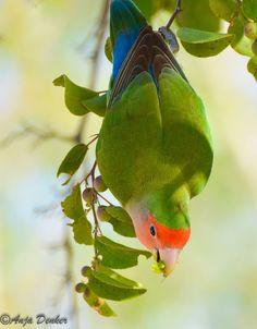 Rosy-faced Lovebird. By Anja Denker