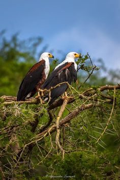 A couple of african fish eagles perched on a acacia tree along the Kazinga Channel. Rare Animals, Animals And Pets, Exotic Animals, Beautiful Owl, Pretty Birds, Birds Of Prey, Raptors, Exotic Pets, Bird Feathers