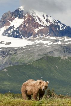 Grizzly bear with glacier in the background. Katmai National park, Alaska.