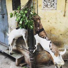 """""""I feel like doing what the goats were doing - just burying my face in leaves and munch my sorrows away. After looking forward to visiting Agra for Looking Forward, Goats, Around The Worlds, Leaves, Feelings, Instagram Posts, Face, The Face, Faces"""