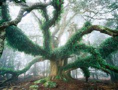 Largest known myrtle tree in the world. Ringarooma, Tasmania, Australia