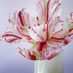 Flaming Parrot Tulip | The Artful Caker, Hilary Stone