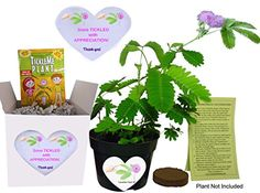 Fun Alternative to a THANK YOU Card So Tickled With APPRECIATION TickleMe Plant Gift Box  Grow the House Plant that Closes Its leaves and lowers ts branches when you TICKLE it and everyone SMILES >>> You can get additional details at the image link.