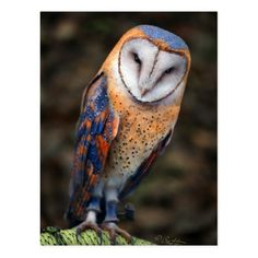 Chouette effraie (tyto Alba) Heart-Shaped Face Barn Owl, I have never seen barn owls with these colors! They are simply beautiful. Nature Animals, Animals And Pets, Cute Animals, Funny Animals, Exotic Birds, Colorful Birds, Exotic Animals, Colorful Feathers, Beautiful Owl