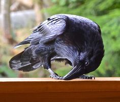 Your daily raven! Wendy Davis Photography