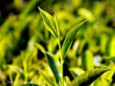 Green Tea, Conoor, TN