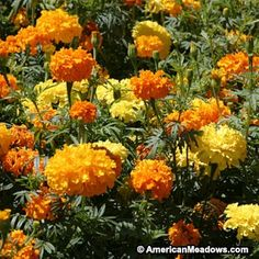 "Annual African Marigold (Crackerjack) Mix - Plant in Full Sun and grows up to 36"" tall. Keeps all kinds of pests away including mosquitoes! Collect seeds and store indoors for spring planting. #Marigold #Calendula"