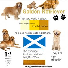 Golden Retriever Infographic