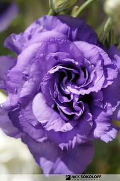 Lavender Lisianthus - i love purple flowers and the curves on this one is very pretty