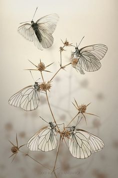 Amazing white butterflies #butterfly