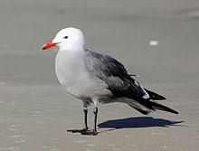 Image result for HEERMANN'S GULL