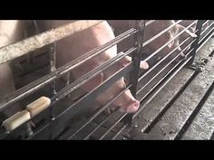 Walmart Food Supplier Exposed For Cruel & Illegal Animal Abuse (Video) | http://m.dailykos.com/story/2015/05/09/1383521/-7-Employees-Fired-After-Merciless-Animal-Abuse-Is-Exposed-At-Colorado-Walmart-Supplier