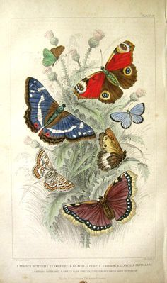 Vintage Butterfly Print - 1859 I would love to have this hanging in my home. Peacock Butterfly, Butterfly Species, Butterfly Images, Butterfly Drawing, Butterfly Painting, Vintage Butterfly, Watercolour Butterfly, Butterfly Illustration, Nature Illustration